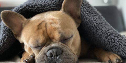 パグが寝ている画像