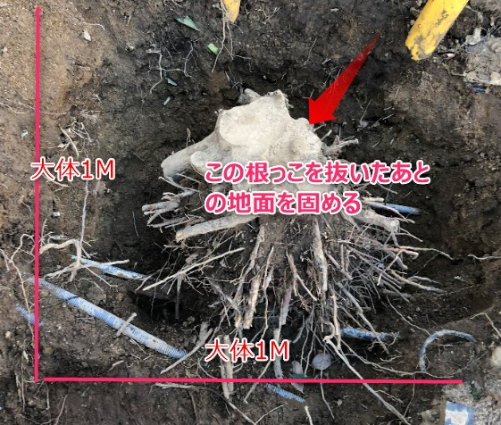 地面に埋まっていた巨大な根っこ