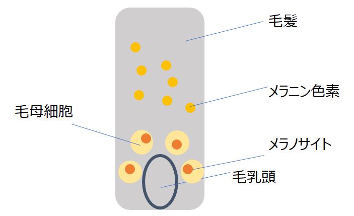 毛髪イメージ図