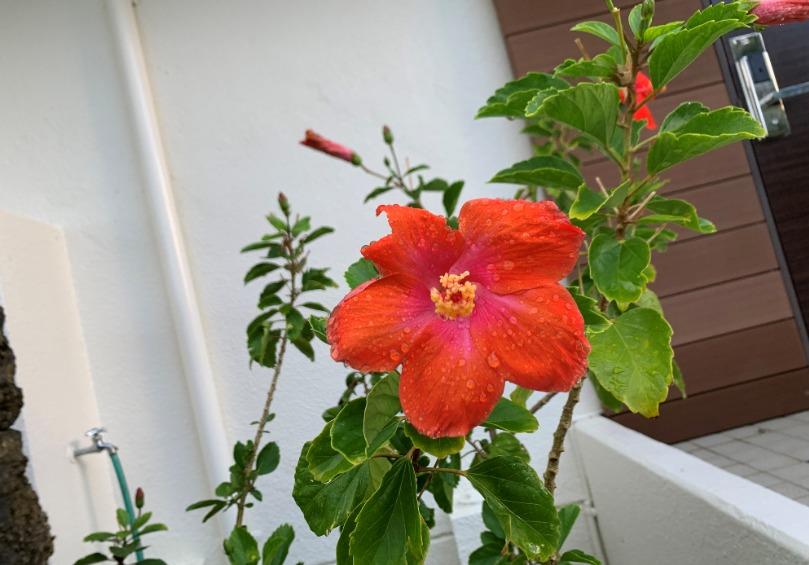 石垣島フサキビーチリゾートホテル 咲く赤い花